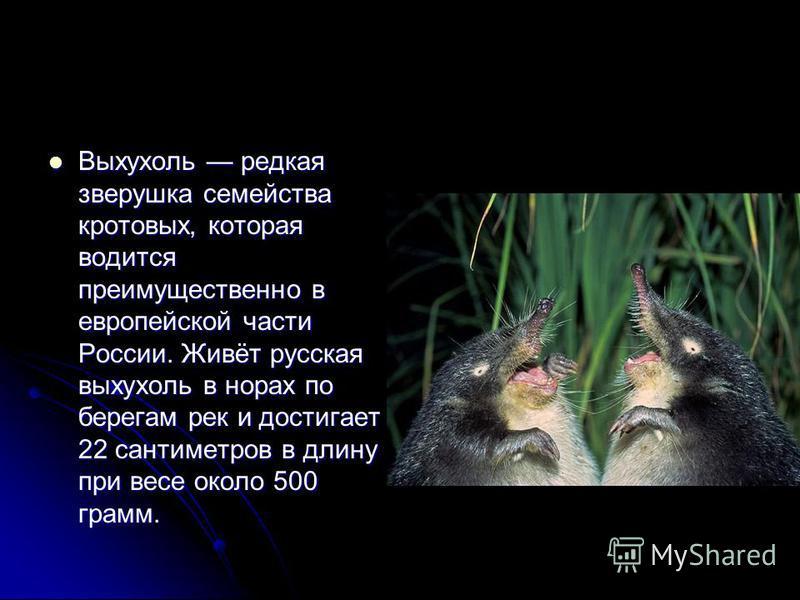 Выхухоль редкая зверушка семейства кротовых, которая водится преимущественно в европейской части России. Живёт русская выхухоль в норах по берегам рек и достигает 22 сантиметров в длину при весе около 500 грамм. Выхухоль редкая зверушка семейства кро