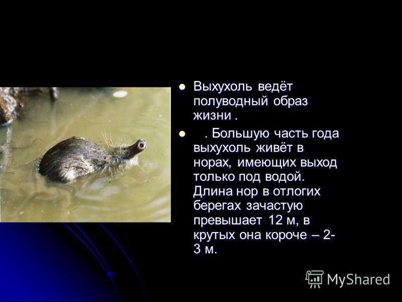 Выхухоль ведёт полуводный образ жизни... Большую часть года выхухоль живёт в норах, имеющих выход только под водой. Длина нор в отлогих берегах зачастую превышает 12 м, в крутых она короче – 2- 3 м.