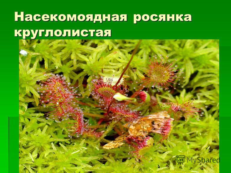 Насекомоядная росянка круглолистая