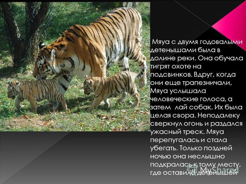 Мяуа с двумя годовалыми детенышами была в долине реки. Она обучала тигрят охоте на подсвинков. Вдруг, когда они еще трапезничали, Мяуа услышала человеческие голоса, а затем лай собак. Их была целая свора. Неподалеку сверкнул огонь и раздался ужасный