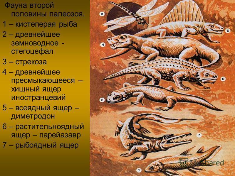 Фауна второй половины палеозоя. 1 – кистеперая рыба 2 – древнейшее земноводное - стегоцефал 3 – стрекоза 4 – древнейшее пресмыкающееся – хищный ящер иностранцевий 5 – всеядный ящер – диметродон 6 – растительноядный ящер – парейазавр 7 – рыбоядный яще