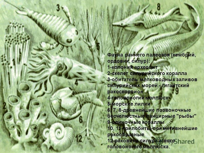 Фауна раннего палеозоя (кембрий, ордовик, силур): 1-колония археоцит 2-скелет силурийского коралла 3-обитатель мелководных заливов силурийских морей - гигантский ракоскорпион 4-головоногий моллюск 5-морские лилии 6, 7, 8-древнейшие позвоночные бесчел