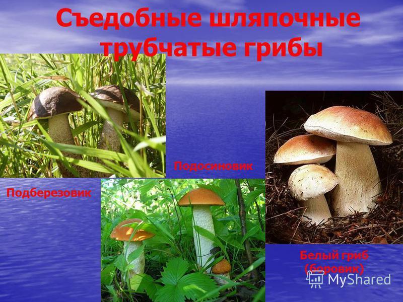Съедобные шляпочные трубчатые грибы Белый гриб (боровик) Подберезовик Подосиновик