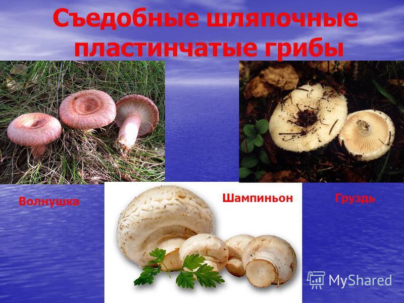 Съедобные шляпочные пластинчатые грибы Шампиньон Волнушка Груздь