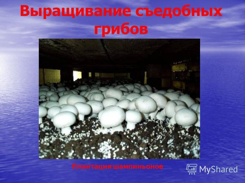 Выращивание съедобных грибов Плантация шампиньонов
