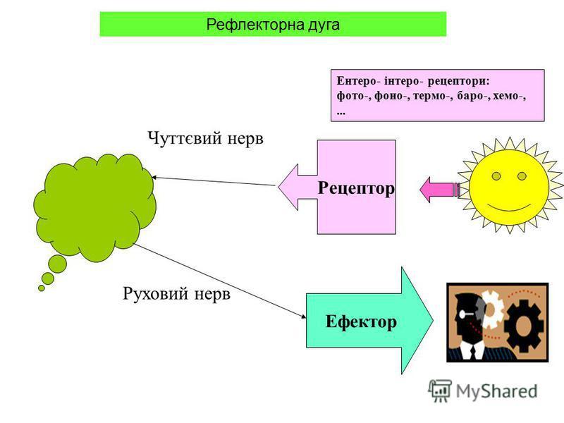 Рецептор Ефектор Руховий нерв Чуттєвий нерв Ентеро- інтеро- рецептори: фото-, фоно-, термо-, баро-, хемо-,... Рефлекторна дуга