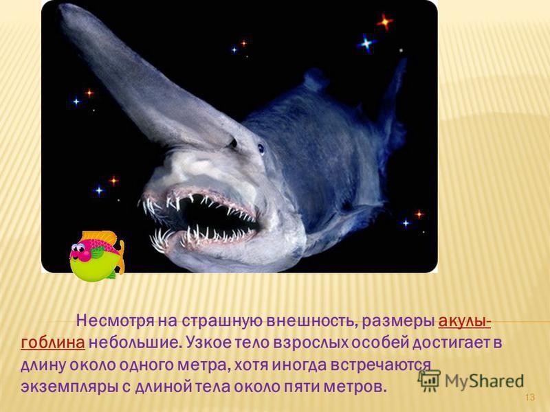 Несмотря на страшную внешность, размеры акулы- гоблина небольшие. Узкое тело взрослых особей достигает в длину около одного метра, хотя иногда встречаются экземпляры с длиной тела около пяти метров.акулы- гоблина 13