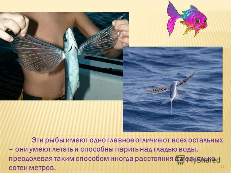 Эти рыбы имеют одно главное отличие от всех остальных – они умеют летать и способны парить над гладью воды, преодолевая таким способом иногда расстояния в несколько сотен метров. 14