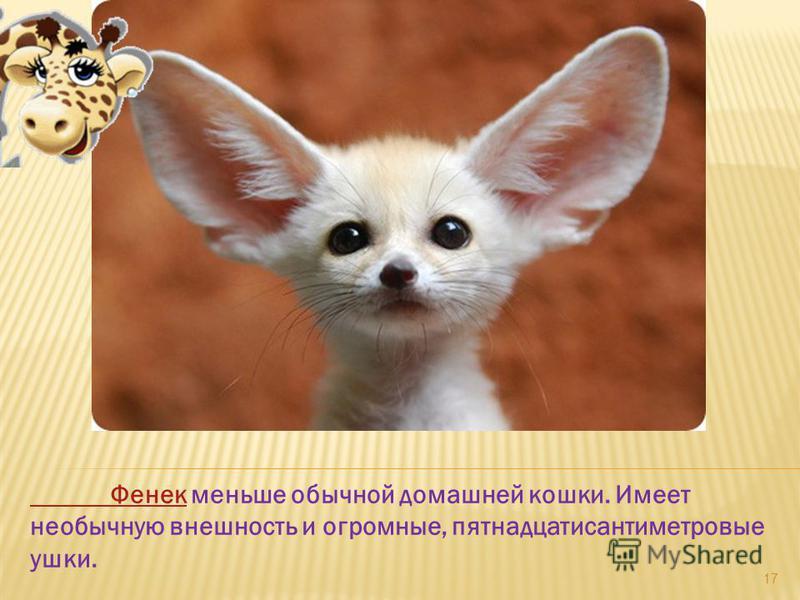 Фенек Фенек меньше обычной домашней кошки. Имеет необычную внешность и огромные, пятнадцатисантиметровые ушки. 17