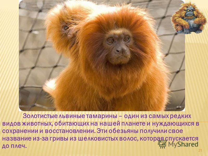 Золотистые львиные тамарины – один из самых редких видов животных, обитающих на нашей планете и нуждающихся в сохранении и восстановлении. Эти обезьяны получили свое название из-за гривы из шелковистых волос, которая спускается до плеч. 21