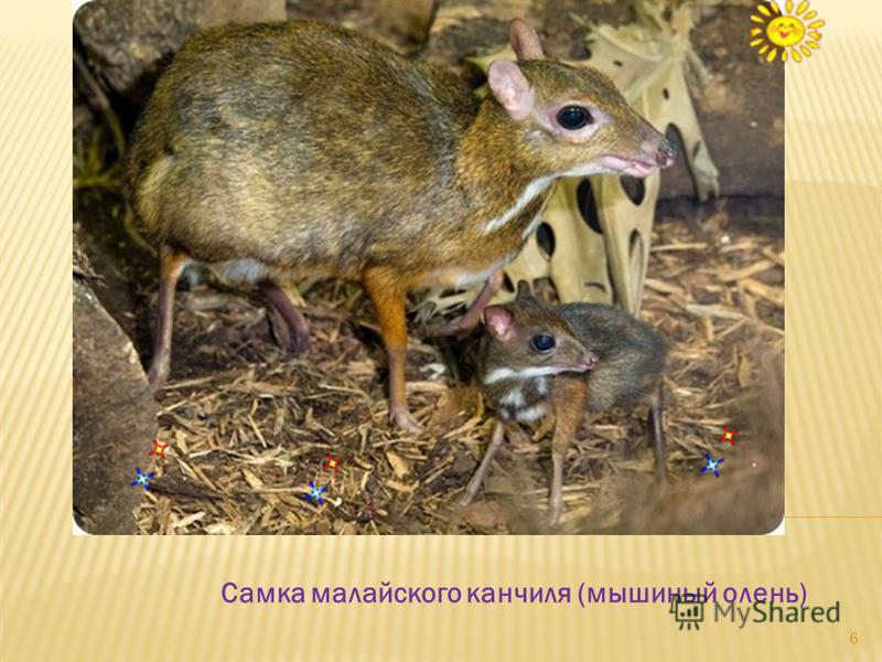 Самка малайского канчиля (мышиный олень) 6