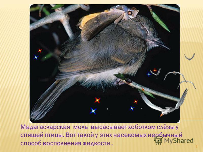 Мадагаскарская моль высасывает хоботком слёзы у спящей птицы. Вот такой у этих насекомых необычный способ восполнения жидкости. 8