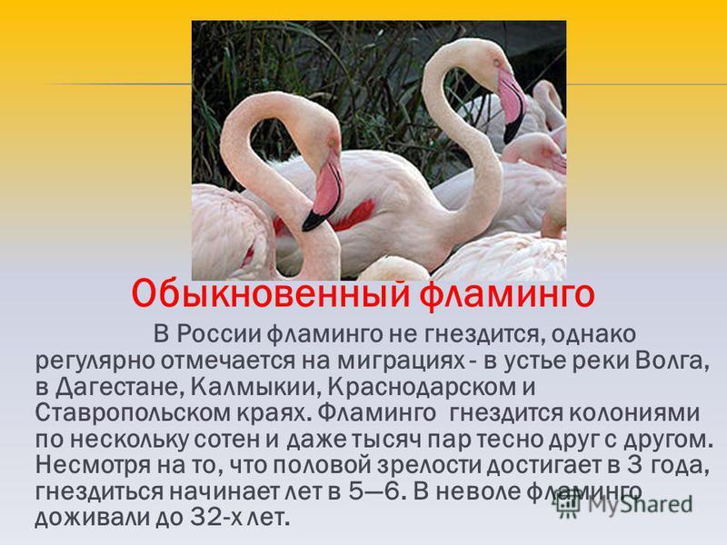 Обыкновенный фламинго В России фламинго не гнездится, однако регулярно отмечается на миграциях - в устье реки Волга, в Дагестане, Калмыкии, Краснодарском и Ставропольском краях. Фламинго гнездится колониями по нескольку сотен и даже тысяч пар тесно д