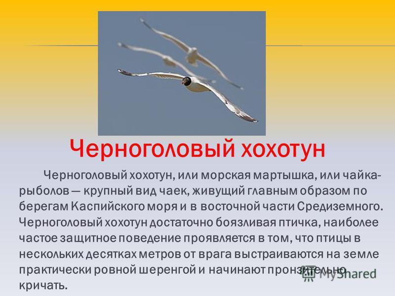 Черноголовый хохотун Черноголовый хохотун, или морская мартышка, или чайка- рыболов крупный вид чаек, живущий главным образом по берегам Каспийского моря и в восточной части Средиземного. Черноголовый хохотун достаточно боязливая птичка, наиболее час