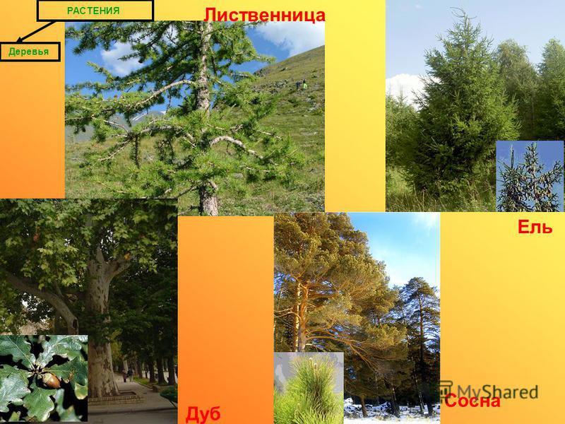 РАСТЕНИЯ Деревья Дуб Ель Сосна Лиственница