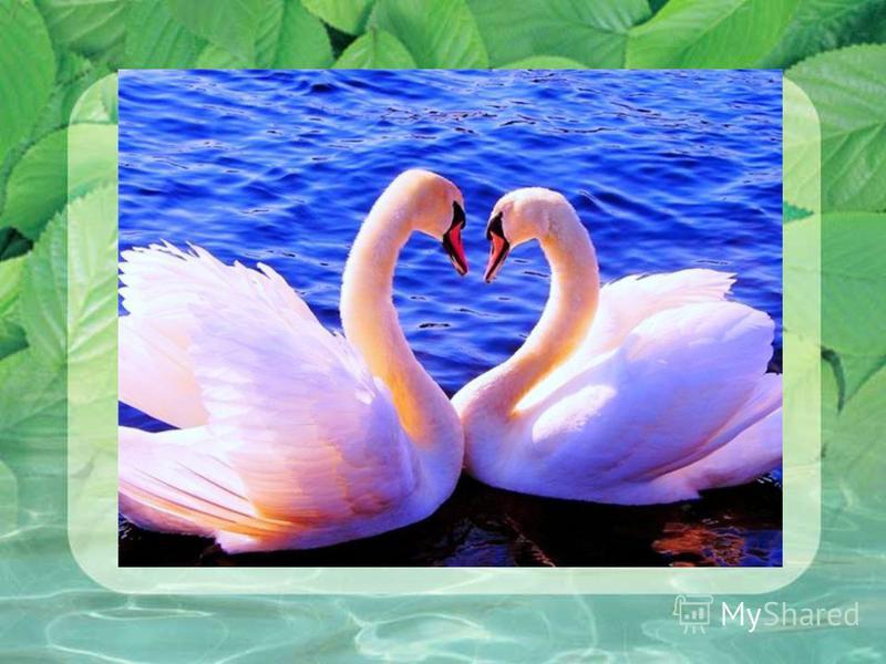 лебедей Повелось так с самой древности: Эти птицы – символ верности. В отраженье своё глядя, Вот скользят по водной глади, Восхищая всех людей, Двое белых