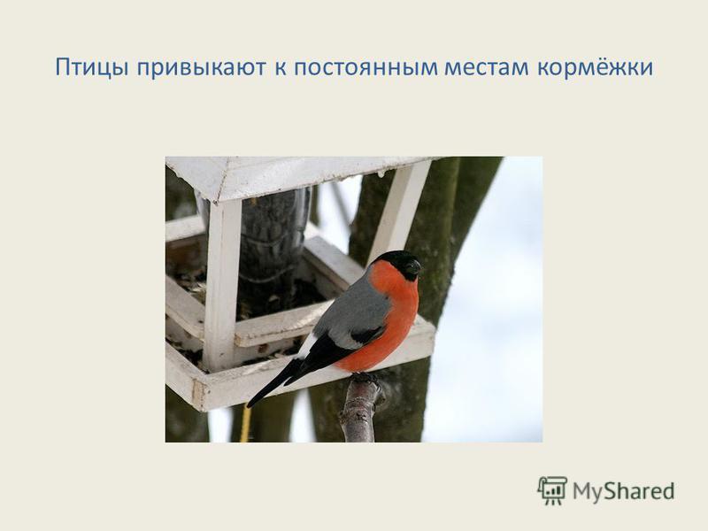 Птицы привыкают к постоянным местам кормёжки