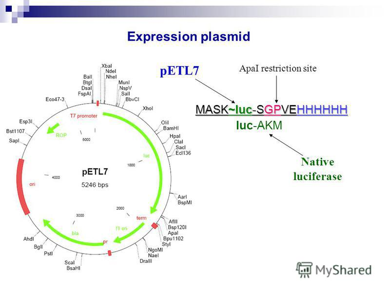 Expression plasmid pETL7 luc-AKM Native luciferase ApaI restriction site MASK~luc-SGPVEHHHHHH