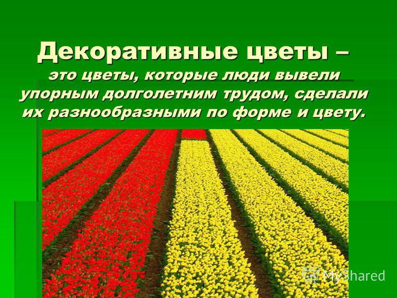 Декоративные цветы – это цветы, которые люди вывели упорным долголетним трудом, сделали их разнообразными по форме и цвету.