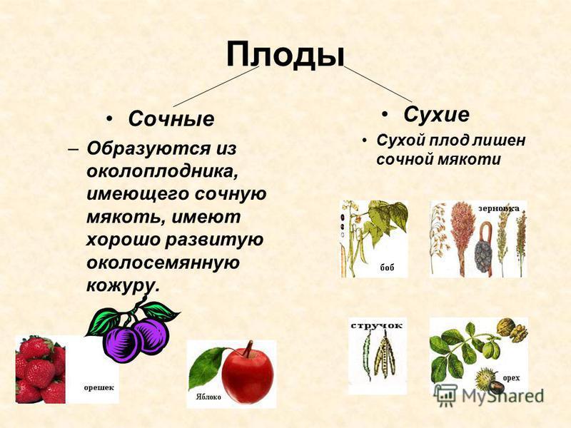 Плоды Сочные –Образуются из околоплодника, имеющего сочную мякоть, имеют хорошо развитую околосемянную кожуру. Сухие Сухой плод лишен сочной мякоти