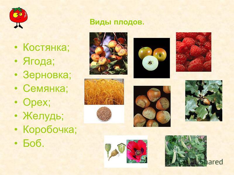 Виды плодов. Костянка; Ягода; Зерновка; Семянка; Орех; Желудь; Коробочка; Боб.
