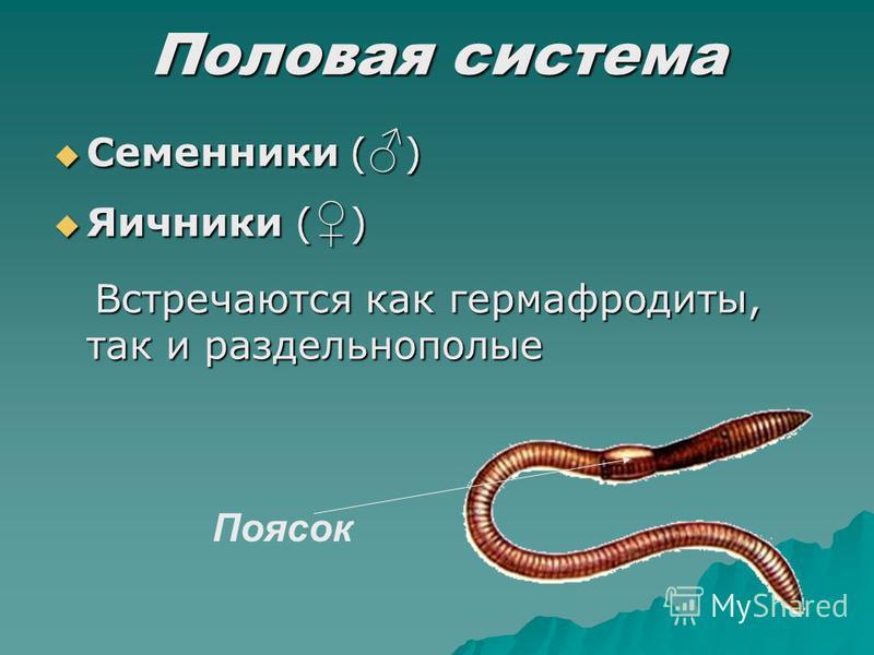 Половая система Семенники ( ) Семенники ( ) Яичники ( ) Яичники ( ) Встречаются как гермафродиты, так и раздельнополые Встречаются как гермафродиты, так и раздельнополые Поясок