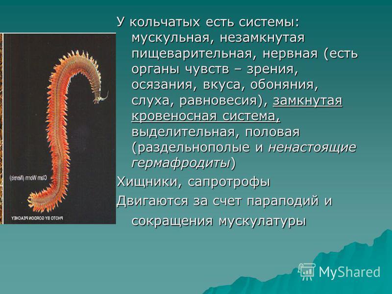 У кольчатых есть системы: мускульная, незамкнутая пищеварительная, нервная (есть органы чувств – зрения, осязания, вкуса, обоняния, слуха, равновесия), замкнутая кровеносная система, выделительная, половая (раздельнополые и ненастоящие гермафродиты)