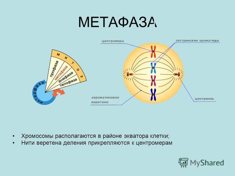 МЕТАФАЗА Хромосомы располагаются в районе экватора клетки; Нити веретена деления прикрепляются к центромерам