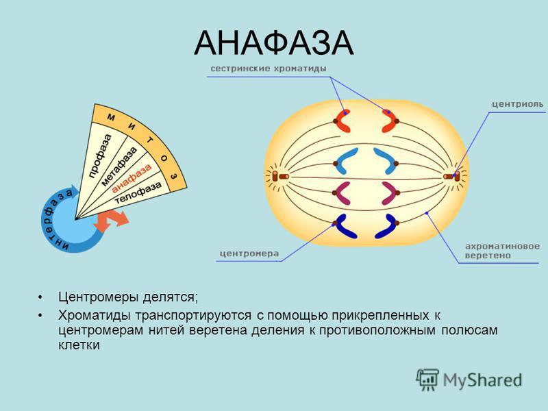 АНАФАЗА Центромеры делятся; Хроматиды транспортируются с помощью прикрепленных к центромерам нитей веретена деления к противоположным полюсам клетки
