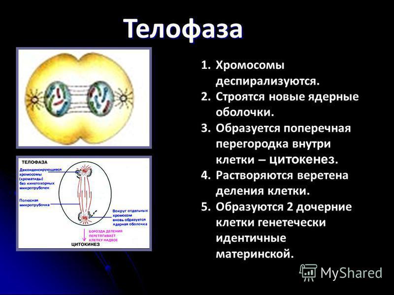 Телофаза 1. Хромосомы деспирализуются. 2. Строятся новые ядерные оболочки. 3. Образуется поперечная перегородка внутри клетки – цитокинез. 4. Растворяются веретена деления клетки. 5. Образуются 2 дочерние клетки генетически идентичные материнской.