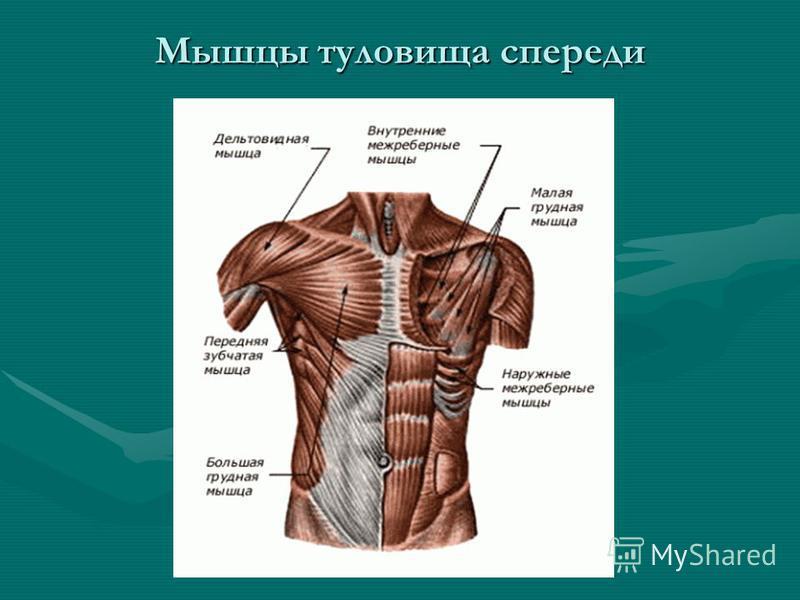 Мышцы туловища спереди