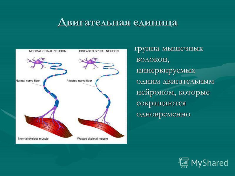 Двигательная единица группа мышечных волокон, иннервируемых одним двигательным нейроном, которые сокращаются одновременно группа мышечных волокон, иннервируемых одним двигательным нейроном, которые сокращаются одновременно