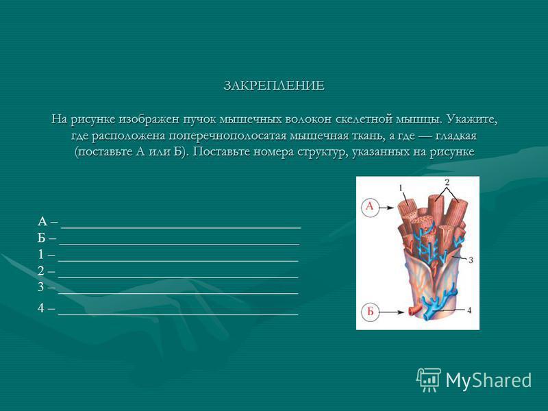 ЗАКРЕПЛЕНИЕ На рисунке изображен пучок мышечных волокон скелетной мышцы. Укажите, где расположена поперечнополосатая мышечная ткань, а где гладкая (поставьте А или Б). Поставьте номера структур, указанных на рисунке А – ______________________________