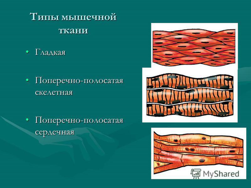 Типы мышечной ткани Гладкая Гладкая Поперечно-полосатая скелетная Поперечно-полосатая скелетная Поперечно-полосатая сердечная Поперечно-полосатая сердечная