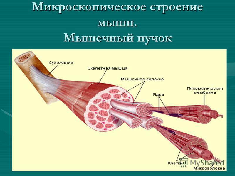 Микроскопическое строение мышц. Мышечный пучок