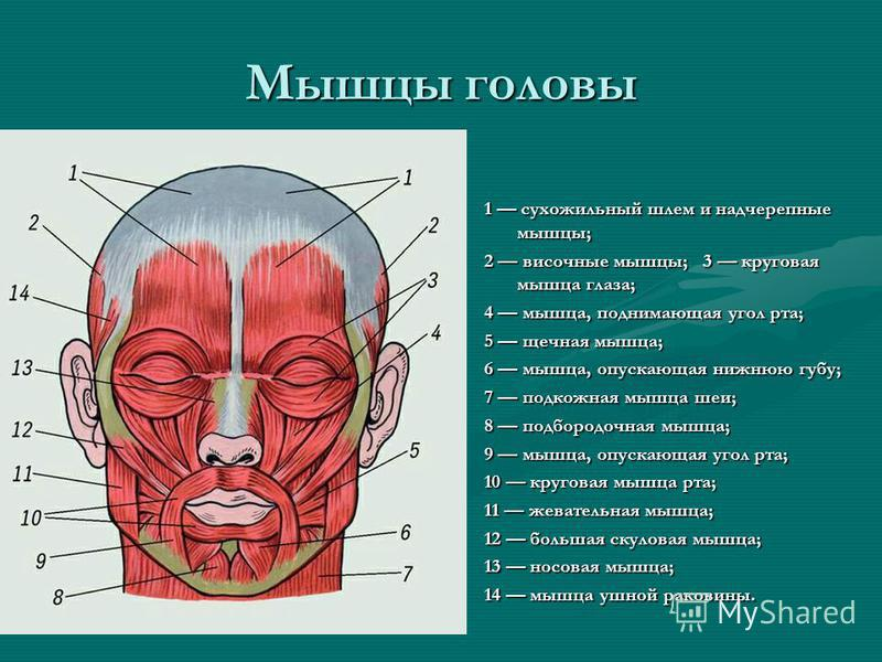 Мышцы головы 1 сухожильный шлем и надчерепные мышцы; 2 височные мышцы; 3 круговая мышца глаза; 4 мышца, поднимающая угол рта; 5 щечная мышца; 6 мышца, опускающая нижнюю губу; 7 подкожная мышца шеи; 8 подбородочная мышца; 9 мышца, опускающая угол рта;