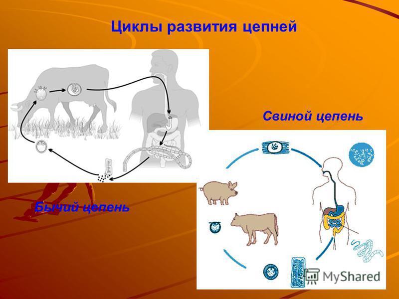 Циклы развития цепней Бычий цепень Свиной цепень