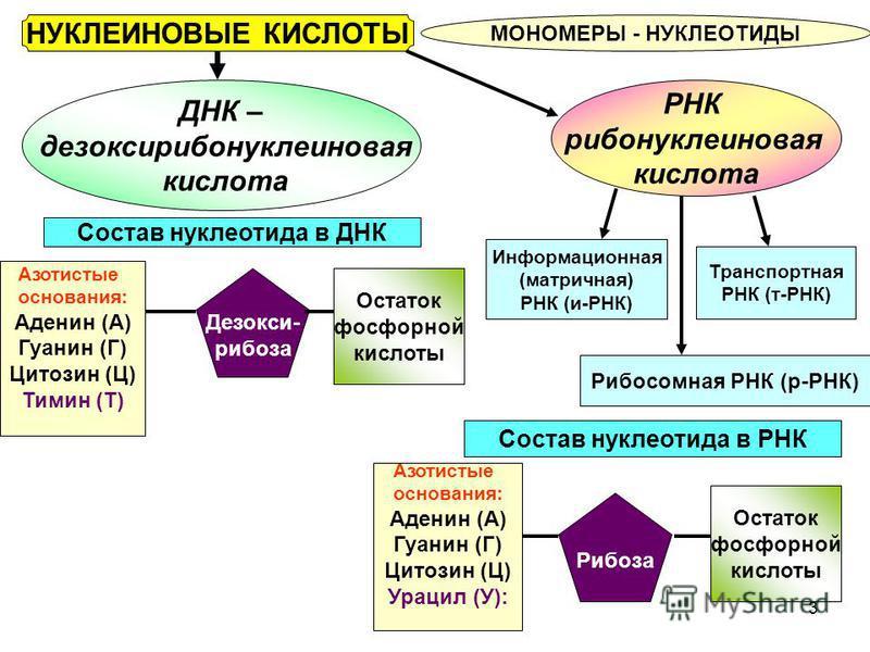 3 НУКЛЕИНОВЫЕ КИСЛОТЫ МОНОМЕРЫ - НУКЛЕОТИДЫ ДНК – дезоксирибонуклеиновая кислота РНК рибонуклеиновая кислота Состав нуклеотида в ДНК Состав нуклеотида в РНК Азотистые основания: Аденин (А) Гуанин (Г) Цитозин (Ц) Урацил (У): Рибоза Остаток фосфорной к