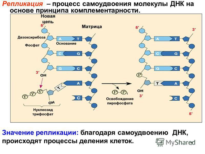 7 Репликация – процесс самоудвоения молекулы ДНК на основе принципа комплементарности. Значение репликации: благодаря самоудвоению ДНК, происходят процессы деления клеток.