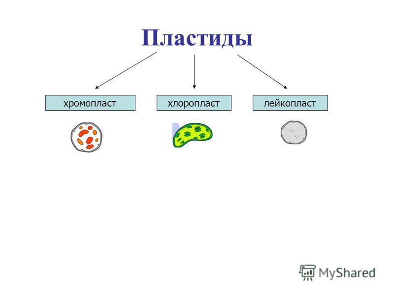 Пластиды хромопластхлоропластлейкопласт