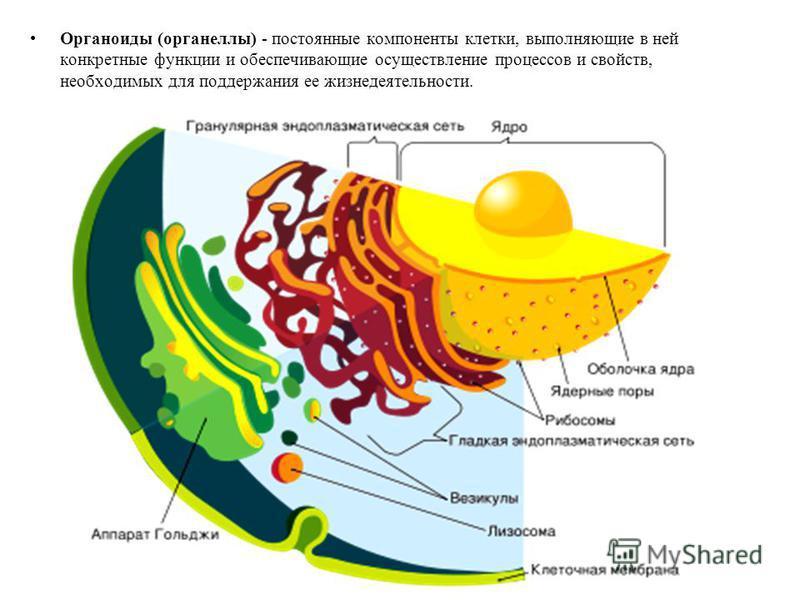 Органоиды (органеллы) - постоянные компоненты клетки, выполняющие в ней конкретные функции и обеспечивающие осуществление процессов и свойств, необходимых для поддержания ее жизнедеятельности.