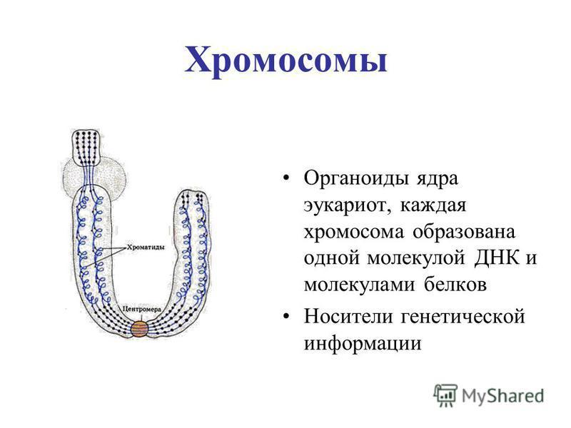 Хромосомы Органоиды ядра эукариот, каждая хромосома образована одной молекулой ДНК и молекулами белков Носители генетической информации