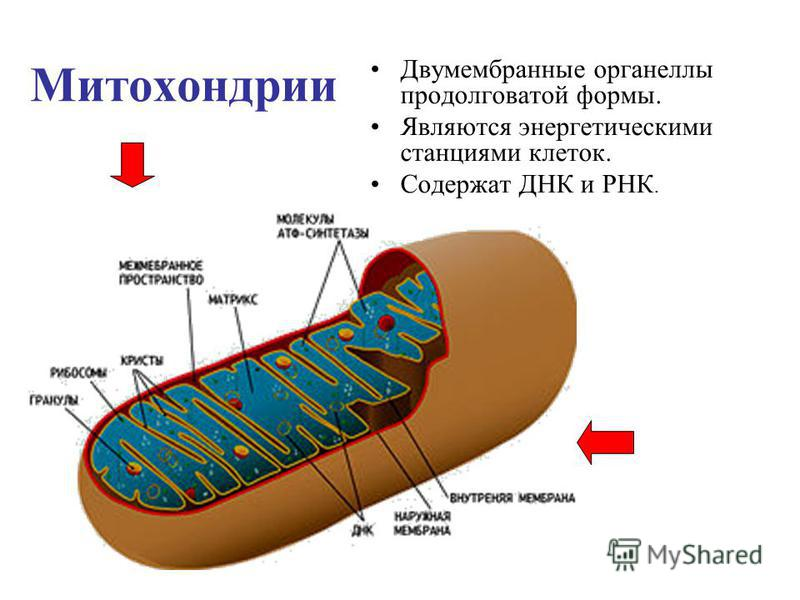 Митохондрии Двумембранные органеллы продолговатой формы. Являются энергетическими станциями клеток. Содержат ДНК и РНК.