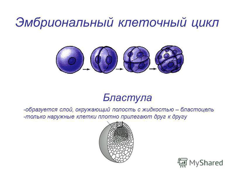 Эмбриональный клеточный цикл Бластула -образуется слой, окружающий полость с жидкостью – бластоцель -только наружные клетки плотно прилегают друг к другу