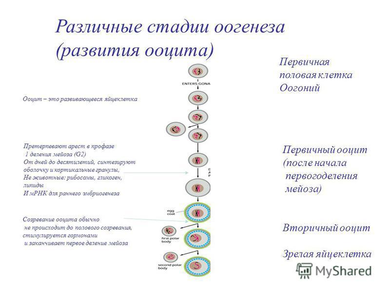 Различные стадии оогенеза (развития ооцита) Первичная половая клетка Оогоний Первичный ооцит (после начала первого деления мейоза) Вторичный ооцит Зрелая яйцеклетка Ооцит – это развивающееся яйцеклетка Претерпевают арест в профазе 1 деления мейоза (G