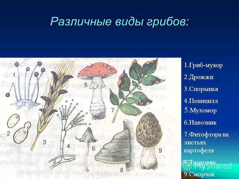 Различные виды грибов: 1.Гриб-мукор 2. Дрожжи 3. Спорынья 4. Пеницилл 5. Мухомор 6. Навозник 7. Фитофтора на листьях картофеля 8. Трутовик 9.Сморчок