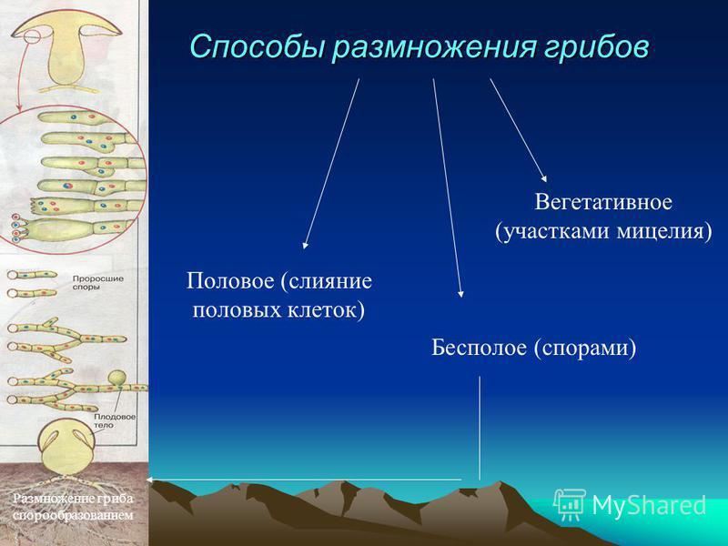 Способы размножения грибов Вегетативное (участками мицелия) Бесполое (спорами) Половое (слияние половых клеток) Размножение гриба спорообразованием