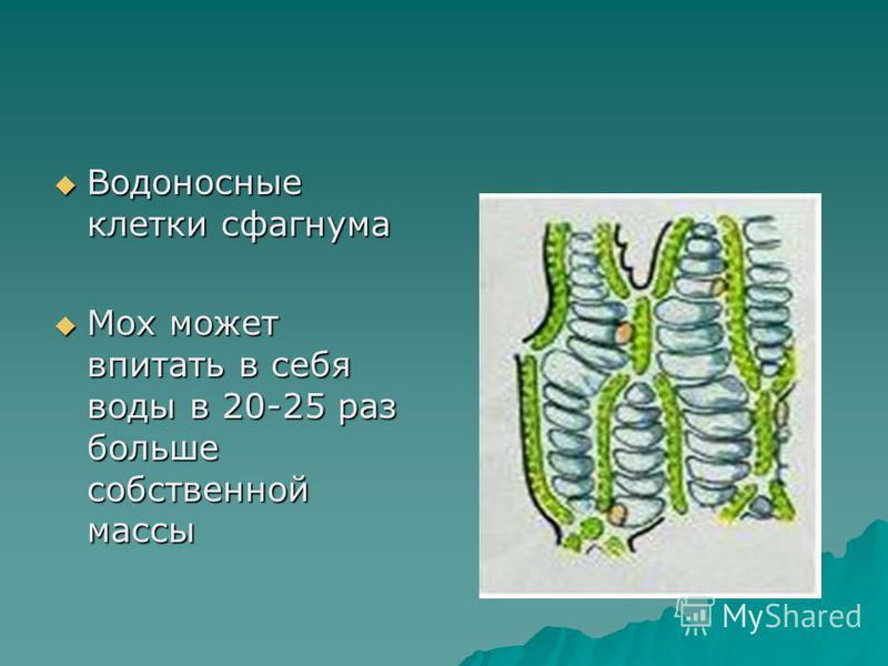 Водоносные клетки сфагнума Водоносные клетки сфагнума Мох может впитать в себя воды в 20-25 раз больше собственной массы Мох может впитать в себя воды в 20-25 раз больше собственной массы