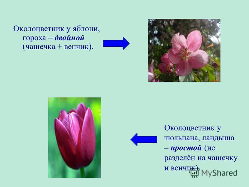 Околоцветник у яблони, гороха – двойной (чашечка + венчик). Околоцветник у тюльпана, ландыша – простой (не разделён на чашечку и венчик).