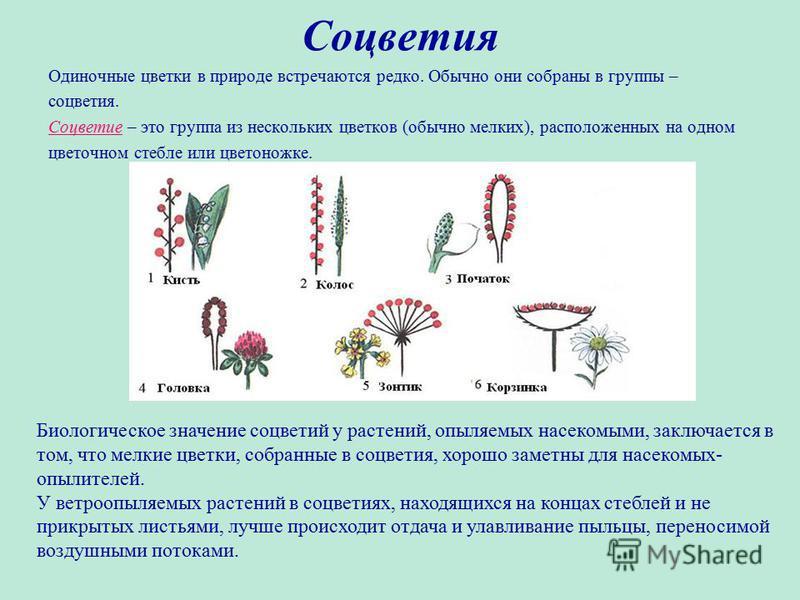 Соцветия Одиночные цветки в природе встречаются редко. Обычно они собраны в группы – соцветия. Соцветие – это группа из нескольких цветков (обычно мелких), расположенных на одном цветочном стебле или цветоножке. Биологическое значение соцветий у раст